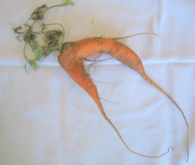 Odd Looking Carrot